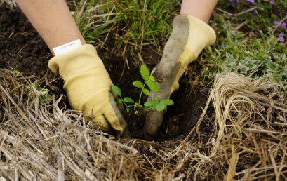 La UPC participó en la plantación de 230 árboles de tabaquillos
